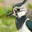Lapwing Close Up by Mark Hughes