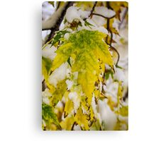 Golden Maple In The Snow Canvas Print
