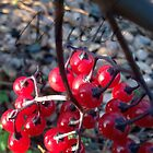 Winter Berries by weecritter
