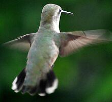 BROADTAILED HUMMINGBIRD ANNA'S by JAYMILO