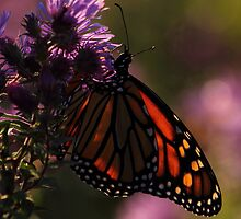 Monarch on New England Aster #4 by Kane Slater