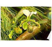 Flower - Orchid - Paphiopedilum insigne Poster