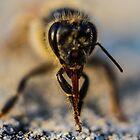 Bee tongue in Micro by David Petranker