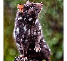 Quoll In Rain by Yanni