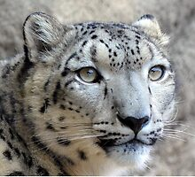 Majestic Young Snow Leopard by sketchpoet