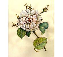 Vintage Flowers: Peony Photographic Print