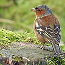 Chaffinch by Mark Hughes