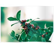 Holly bush with red berries Poster