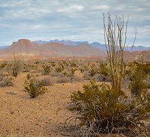 Tall Ocotillo in Big Bend National Park by Robert Kelch, M.D.