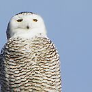 Snowy Owl - Biddeford, Maine by MaryinMaine