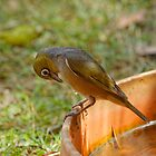 Silvereye (Zosterops Lateralis) by Matthew Hockley