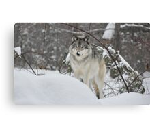 Snowy Nose - Timber Wolf aka Grey Wolf Canvas Print