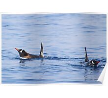 Gentoo Penguins Swimming Poster