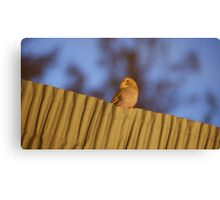 baby budgie Canvas Print