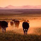 Wild Horses of Namibia by Robert van Koesveld