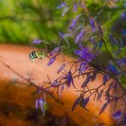 Blue Banded Bee (Amegilla cingulata) and Dianella caerulea (Flax Lilies) by Elaine Teague