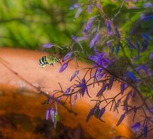 Blue Banded Bee (Amegilla cingulata) and Dianella caerulea (Flax Lilies) by Elaine Teague