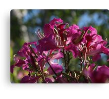 orchid tree - arbol de orquídea Canvas Print
