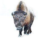 Buffalo by Jim Cumming