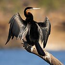 African Darter by Jennifer Sumpton