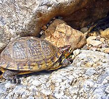 Box Turtle by Susan S. Kline