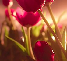 Pink Tulips at Sunset by zzaannsebar