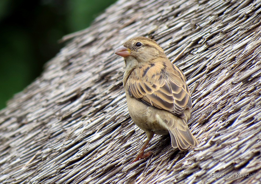 A sparrow on the roof  by Elizabeth Kendall