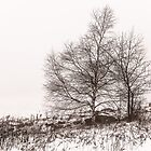 Birch by Pete5
