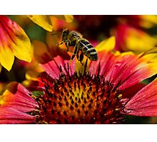 Busy Buzzing Bee Photographic Print
