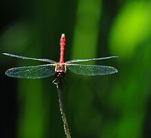 Dragonfly by Care Johnson