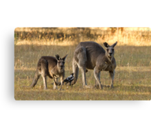 Two kangaroo's and a magpie Canvas Print