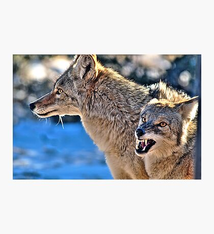 Coyote Buddies (HDR) Photographic Print