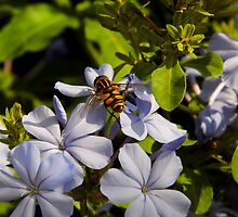 Hover Fly On Plumbago by WildestArt