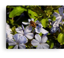 Hover Fly On Plumbago Canvas Print