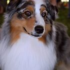 Blue Merle Beauty by jodi payne