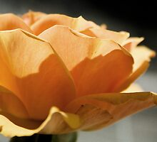 Single Rose by Belinda Osgood
