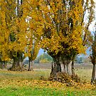 The last leaves, Poplar Trees, Mt Beauty, Victoria. by johnrf