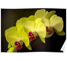 Yellow Orchid Flowers Poster