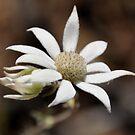 Flannel flower by julie anne  grattan