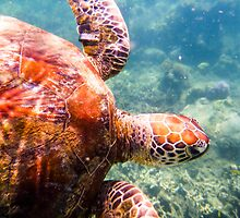 Australian Tropical Reef Turtle 3   (Snorkeling) by GiulioCatena