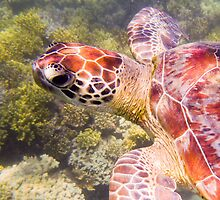Australian Tropical Reef Turtle 1   (Snorkeling) by GiulioCatena