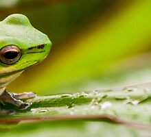 Australian Tropical Frog 2 by GiulioCatena