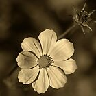 Cosmos in Sepia by Clare Colins