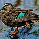 Pacific Black Duck by Tom Newman