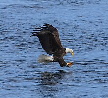 Eagle in Flight over the Mississippi by E. Mac MacKay