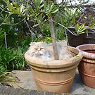 Potted Cat by Vicki Spindler (VHS Photography)