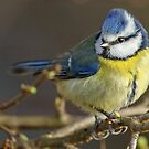Blue Tit by Mark Hughes