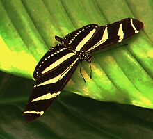 Zebra Longwing by ienemien