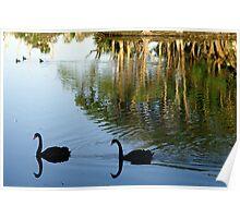 Swan Duo Poster