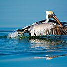 Brown Pelican Landing by imagetj
